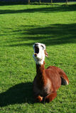 Yawning Lama on the grass Stock Image