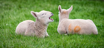 Yawning lamb Stock Photography