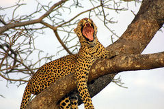 Yawning Leopard. Leopard in a tree, Ngala Private Game Reserve, South Africa Stock Photography