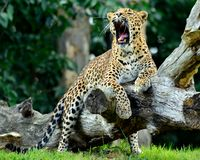 Yawning Leopard Stock Photo