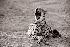 Yawning Leopard royalty free stock photography