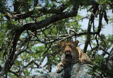 Yawning leopard on a tree Royalty Free Stock Photos