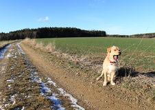 Yawning light dog. Sitting aside muddy way among fields Stock Photography