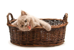 Yawning Lilac Kitten In A Basket Royalty Free Stock Image