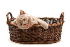 Yawning Lilac Kitten In A Basket royalty free stock image