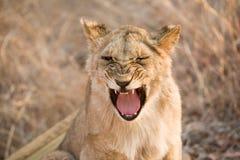 Yawning lion stock photography