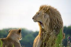 Yawning Lion Stock Photos