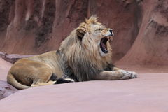 Yawning lion. The yawning adult of male lion Royalty Free Stock Images