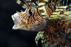 Yawning Lion-Fish Stock Photos