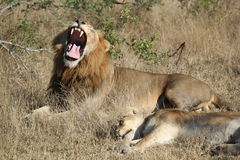 Yawning Lion with Mate. A lion yawns while napping with his mate Royalty Free Stock Photos