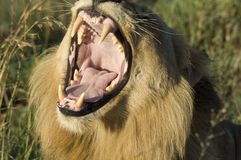Lion - mouth wide open, South Africa. Yawning lion with wide open mouth in South Africa. Lion showing its dangerous teeth royalty free stock photo