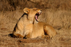 Yawning lioness Royalty Free Stock Images