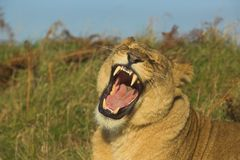 Yawning lioness. Lioness showing teeth Royalty Free Stock Photography