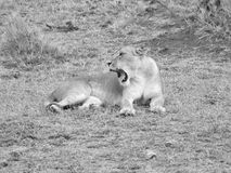 Yawning lioness Royalty Free Stock Photography
