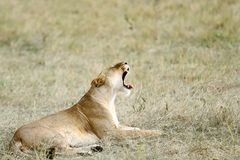 A yawning lioness Royalty Free Stock Images