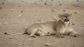 Yawning lioness and turtle doves stock footage