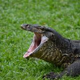 Yawning lizard early summer morning royalty free stock photos