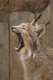 Yawning lynx. Photo of yawning lynx which lives in Yekaterinburg local zoo Stock Photos