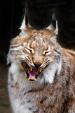 Yawning Lynx Stock Photography