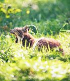 Yawning lynx lying in grass backlit by sunlight. Yawning lynx lynx lynx lying in grass backlit by sunlight Stock Photo