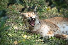Yawning Lynx. A yawning Lynch in the Parc Animalier Des Pyrenees Stock Images