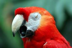 Yawning Macaw Stock Image