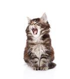 Yawning maine coon cat. isolated on white background Stock Photography