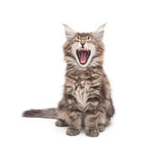 Yawning maine coon kitten Stock Photos