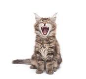 Yawning maine coon kitten Stock Photos