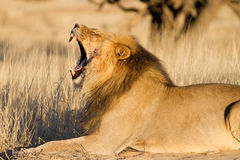 Yawning male lion royalty free stock photography