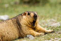 Yawning marmot on the meadow Royalty Free Stock Photography