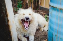 Yawning mongrel dog, portrait. royalty free stock photo