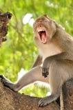 Yawning monkey Royalty Free Stock Photo