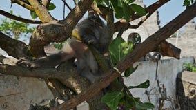 Yawning Monkey Uluwatu slow motion stock video footage