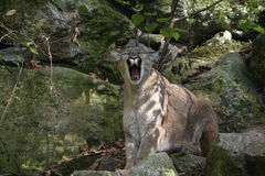 Yawning Mountain Lion. A female mountain lion blends in quite well with her environment Stock Photos