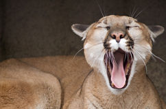 Yawning Mountain Lion  Royalty Free Stock Photos