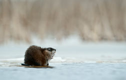 Yawning  muskrat Stock Photography