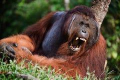 Yawning Orangutan. Indonesia, Borneo - Yawning Orangutan sitting on a tree Royalty Free Stock Photo