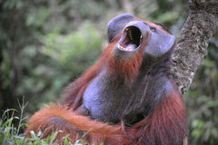 Yawning Orangutan. The adult male of the Orangutan. The orangutan yawns, widely having opened a mouth and showing canines Stock Photo