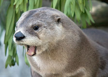 Yawning Otter Royalty Free Stock Photography