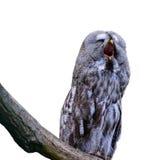Yawning owl isolated on white background stock photos