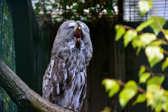 Yawning owl Royalty Free Stock Photo
