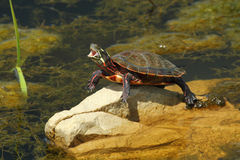 Yawning Painted Turtle. A basking painted turtle takes a big yawn Stock Images