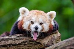 Yawning Panda Stock Image