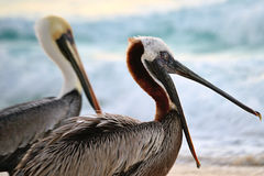 Yawning Pelican. Pelicans on the shore, one mid-yawn Stock Image