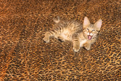 Yawning Pixiebob Kitten on Leopard Sheet Stock Image