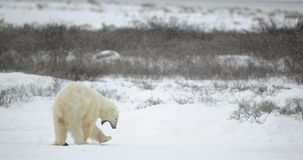 Yawning polar bear. Stock Image