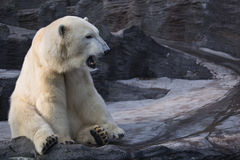 Yawning polar bear Royalty Free Stock Image
