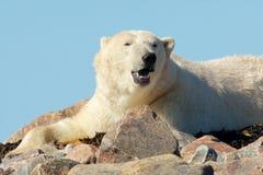 Yawning Polar Bear royalty free stock photos