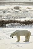 Yawning Polar bear. Stock Photos